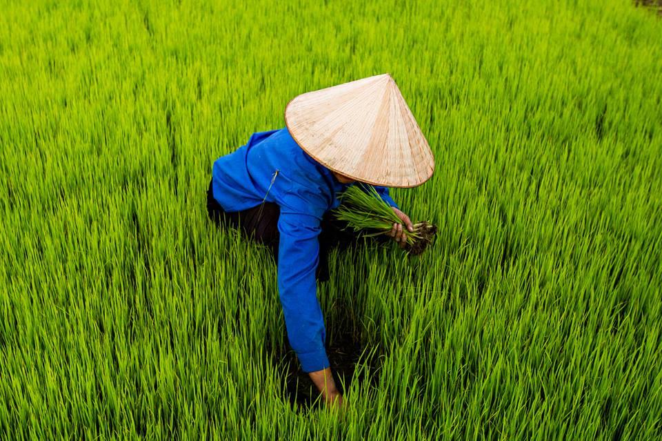 Rýžová pole v Dien Bien Phu